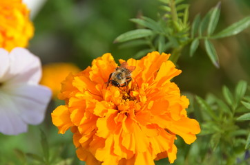 Orange marygold flower with a bee