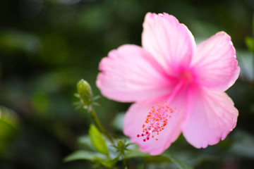 A close-up image and selective focus of single pink Hibiscus Flo