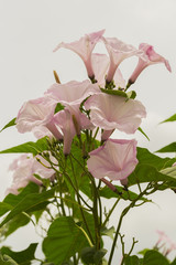 pink flower  a background