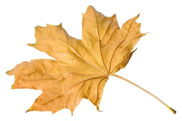 Autumnal leaves on white background. Macro closeup.