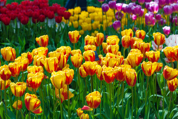 Tulip. Beautiful tulips. colorful tulips. tulips in spring,colou