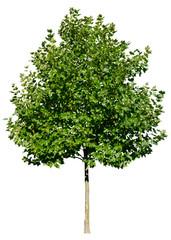 Platanus acerifolia (Platane) Freigestellt,isoliert