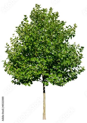 platanus acerifolia platane freigestellt isoliert. Black Bedroom Furniture Sets. Home Design Ideas