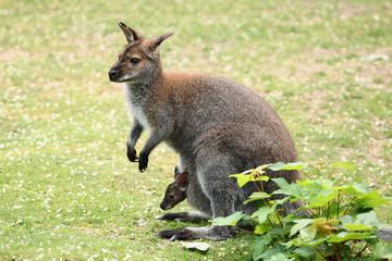 Swamp wallaby (Wallabia bicolor)