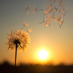 Dandelion against the backdrop of the setting sun. Sunset in summer.