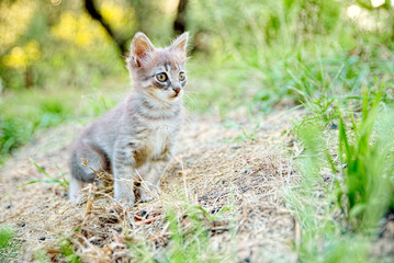 Kitten motionless on the soil blurry of countryside observes a small prey ready and alert