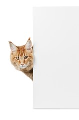 Cat, sign, isolated.