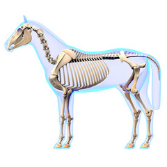 Horse Skeleton Side View - Horse Equus Anatomy