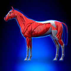 Horse Muscles - Horse Equus Anatomy - on blue background