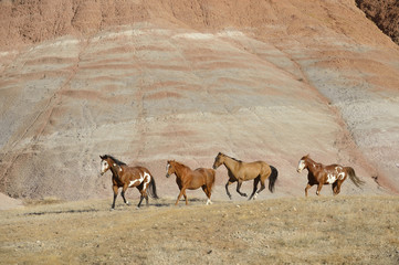 USA, Wyoming, Big Horn Mountains, four galloping wild horses