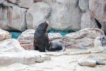 Sea lion mammal aquatic coasts of south africa atlantic ocean. Show in the Safari world open zoo Thailand.