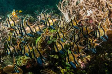 scuba diving lembeh indonesia banggai cardinalfish underwater