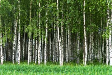 Grove of birch trees - fototapety na wymiar