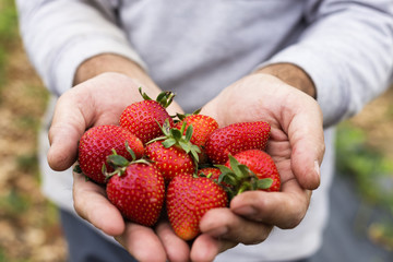 Farmer hands  holding freshly picked strawberries on the field
