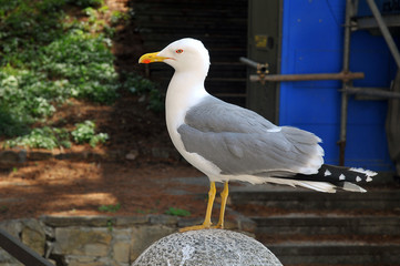 Seagull in Italy Triest
