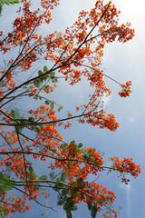 Spring Flower. The Flame Tree. (Delonix regia (Boj. ex Hook.))
