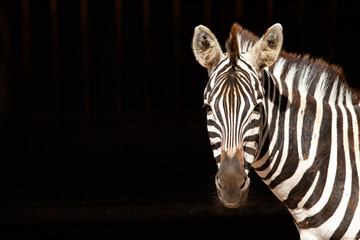 Zebra with black background Wall mural
