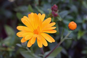 Calendula officinalis in garden
