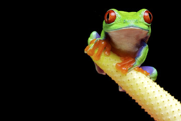 A red eyed tree frog isolated on a black background