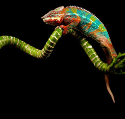 Blue Bar Panther Chameleon isolated on black background