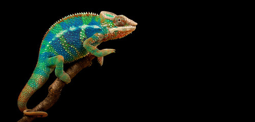 Photo sur Toile Panthère Blue Bar Panther Chameleon isolated on black background