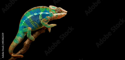 Wall mural Blue Bar Panther Chameleon isolated on black background