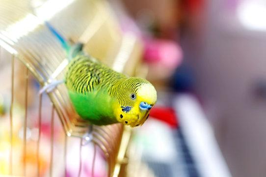 Funny budgerigar