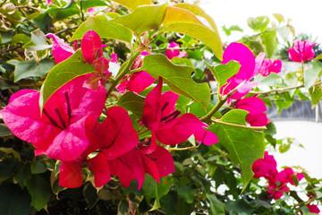 flor Trinitaria