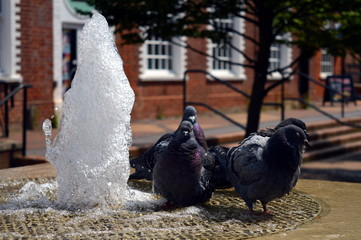 Pigeons Cooling off in a Fountain on a Hot Day