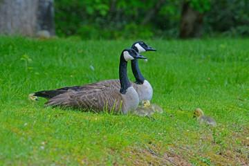 Pair of Canada Geese watching their babies.