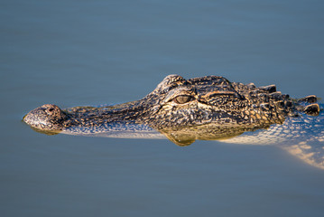 Juvenile Alligator Head Closeup