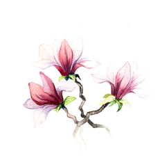 the magnolia flowers watercolor isolated on the white background