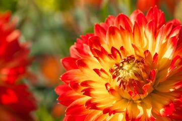 Feurige Dahlienblüte in Rot und Gelb, farbenfrohe Sommerblumen im Garten, Blumenbeet im Spätsommer