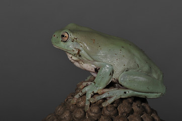 grenouille ou littoria caerulea