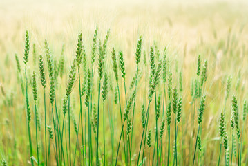 Wall Mural - Yeşil buğday başakları