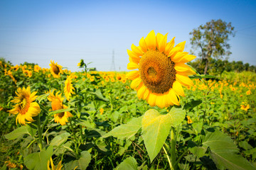 big beautiful sunflower with green leavesclear nature
