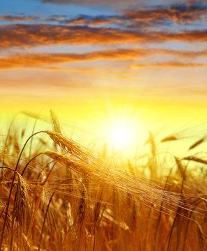 golden barley at sunset