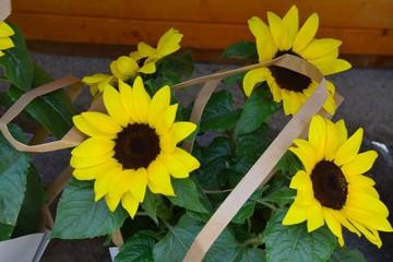 Junge Sonnenblumen in Geschenkverpackung