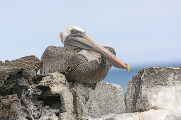 Brown Pelican Perched on a Rock Showing its Inner Eyelid
