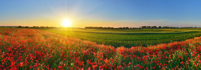 Fotobehang Poppy Panorama of poppy field at sunrise