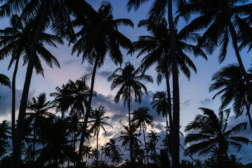 Dawn in Coconut Palm Trees, Sri Lanka