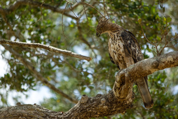 Hawk-Eagle at Yala national Park, Sri Lanka
