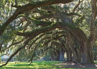 Live Oak Tree – Oak avenue Charleston live oak trees with Spanish moss