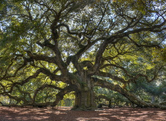 Majestic live oak angle tree