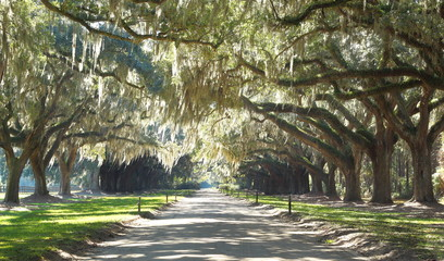 Plantation Driveway - live oak trees and Spanish moss in the deep south