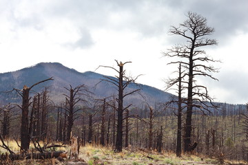 Remains of Burned trees from drought/Fire