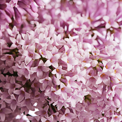 The flower pink lilac a background