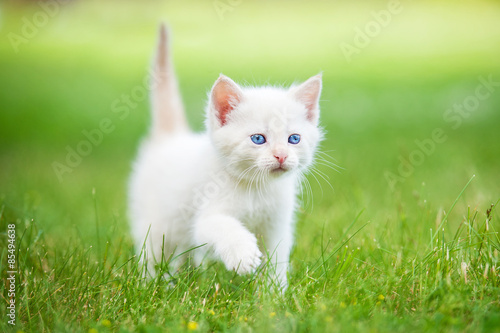 """White Baby Kittens With Blue Eyes """"Adorable ..."""