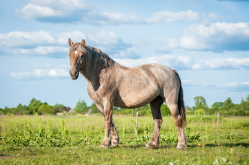 Wall Mural - Beautiful horse of unusual color standing on the field in summer