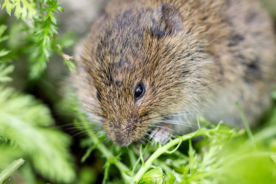 gray mouse / A field mouse eating a green leaf